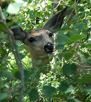320-herbivore-mule-deer-1797